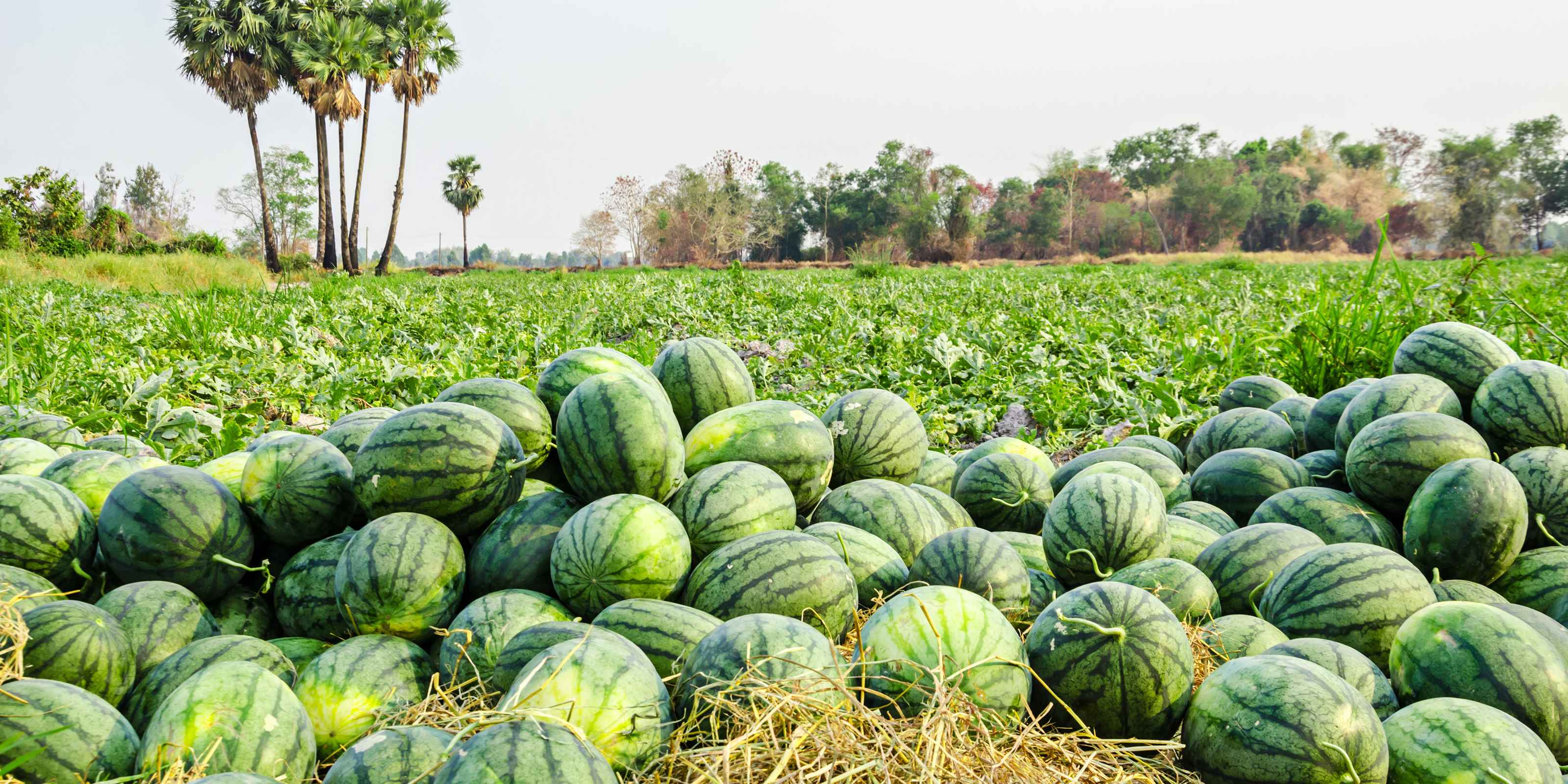 Water Melon Production Greenlife Crop Protection Africa