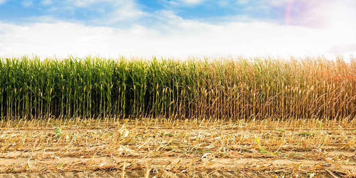 Maize Farming Challenges In Kenya