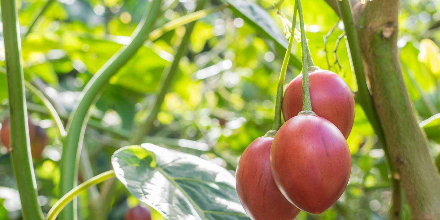 Tree Tomato Production