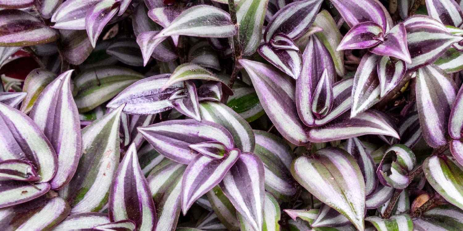 Picture of Live Wandering Jew Purple aka Tradescantia pallida Foliage Hanging Plant Fit 4in Pot